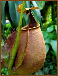 A big, fat Nepenthes pitcher plant.