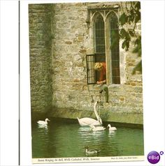 Wells Somerset postcard swans ringing the bell Wells cathedral - 99p on eBid uk