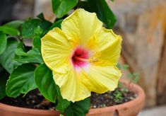 Tropical hibiscus is a flowering shrub that displays big, showy blooms. Growing tropical hibiscus in containers is a good option; hibiscus performs best when its roots are slightly crowded. Read here to learn more. Hibiscus Bush, Growing Hibiscus, Hibiscus Tree, Hibiscus Garden, Yellow Hibiscus, Hibiscus Flowers, Tropical Flowers, Tropical Plants, Garden Trees