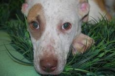 Sissy is an adoptable Hound Dog in Springfield, OH.  ...