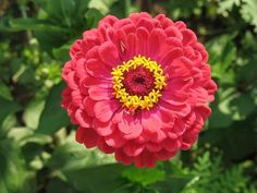 Zinnia, a pompás rézvirág gondozása
