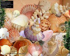 seashells pictures   Seashells From The Seashore Screensaver screenshot 2 - The Seashells ...