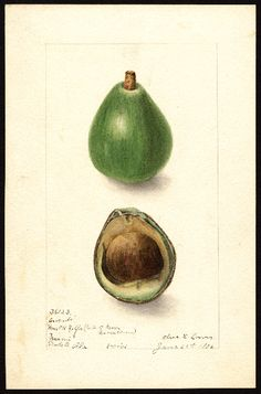 Elsie E. Lower, Avocado Seedling, 1906, watercolor, 17 x 25 cm. U.S. Department of Agriculture Pomological Watercolor Collection. Rare and Special Collections, National Agricultural Library, Beltsville, MD 20705""