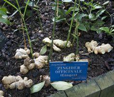 Piante e fiori di zenzero? Per impreziosire il giardino!