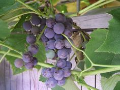 Growing grapes for home use : Yard and Garden : University of Minnesota Extension