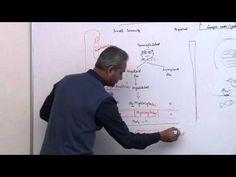 Immunology (Neutrophil) Lecture 3 Part 6
