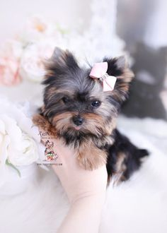 Browse beautiful, healthy Teacup Yorkie puppies for sale at TeaCups, Puppies and Boutique! Our Teacup Yorkie puppies are health certified and guaranteed! Cute Puppies For Sale, Yorkies For Sale, Yorkie Puppy For Sale, Puppys For Sale, Chihuahua Mix Puppies, Yorkie Dogs, Yorkie Teacup Puppies, Yorkie Breeders, Pomeranian Dogs