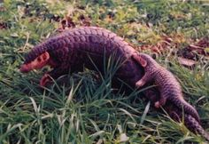 """Pangolins, often called """"scaly anteaters,"""" are covered in tough, overlapping scales. These burrowing mammals eat ants and termites using an extraordinarily long, sticky tongue, and are able to quickly roll themselves up into a tight ball when threatened. Eight different pangolin species can be found across Asia and sub-Saharan Africa. Poaching for illegal wildlife trade and habitat loss have made these incredible creatures one of the most endangered groups of mammals in the world."""