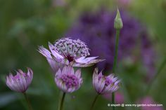 I never tire of looking at beautiful astrantia close up
