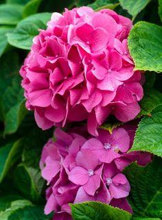 Hortensia © Sabine Coe #Morbihan #tourisme #Bretagne France, Rose, Flowers, Plants, Brittany, Sweet Life, Tourism, Pink, Plant