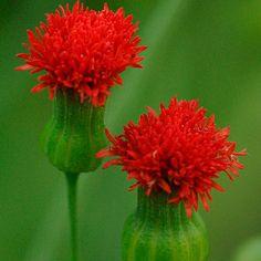 Tassel flower, Flora's paintbrush  Latin name: Emilia coccinea