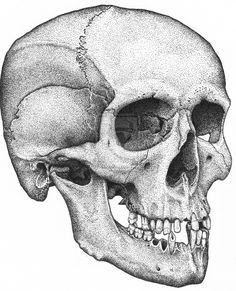thescienceofillustration:  Human Male Skull by *BlackPariahDog I finished this this morning, so I'm posting it - I'm doing a series of drawings from the human skeleton to become more familiar with it.  This is a legally acquired research specimen.