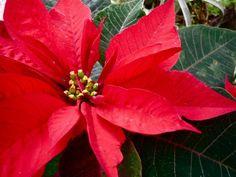 Las Navidades están mucho más cerca de lo que nos parece, así que conviene aprender a cuidar una de las estrellas de estas fechas.