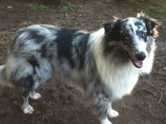 Buck, a bi-blue, old-fashioned Farm Collie. Scotch Collie, Livestock, Blue