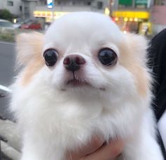 Chihuahua dogs are part of the toy dog breed, bringing a lot of energy in a tiny package. Find out more about the Chiwawa dog here. Super Cute Puppies, Super Cute Animals, Cute Dogs, Cute Puppy Pictures, Funny Animal Pictures, Funny Animals, Chihuahua Puppies, Chihuahuas, Toy Dog Breeds