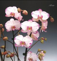 Most orchids would not grow well under a constant high temperature. ideally day temperatures should be 70 to 80 F. Bloom Blossom, Flowering Trees, Flower Arrangements, Shapes, Orchid Flowers, Plants, Minho, Butterfly, Princess