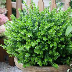 ilex aquifolium hedge english holly botanex plants. Black Bedroom Furniture Sets. Home Design Ideas