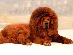 """MASTINO TIBETANO, grazie all'isolamento geografico degli altopiani del Tibet, ha conservato le caratteristiche tipiche del vero progenitore di tutti i """"cani da montagna"""","""