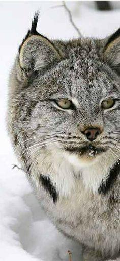 Lynx in Western Montana and Glacier National Park   glaciermt.com