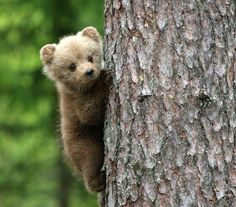 Little bear cub Cute Baby Animals, Animals And Pets, Funny Animals, Bear Pictures, Cute Animal Pictures, Photo Ours, Love Bear, Tier Fotos, Bear Art