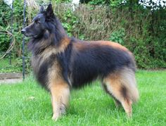 So like Macou - Sydney's dad... HAWKSFLIGHT |  BELGIAN SHEPHERDS