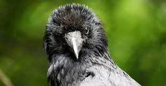 Bildergebnis für australian crow