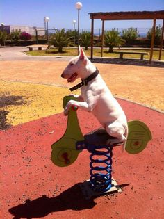 #Bull #Terrier's way to have fun