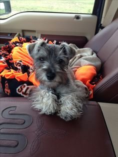 Salt & Pepper Miniature Schnauzer  ~Like our  special little guy as a puppy.  We <3 u...RIP (EB)#2