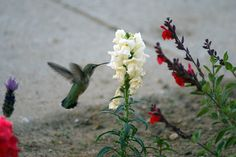 Snapdragons attract hummingbirds to your garden