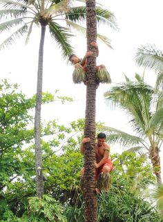 Coconut tree climbers Click to open to more pictures.