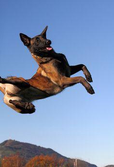 Berger Malinois, Malinois Puppies, Belgian Malinois Dog, Belgian Shepherd, German Shepherd Dogs, Belgium Malinois, Dog Day Afternoon, Schaefer, Service Dogs