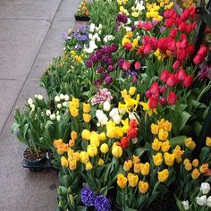 Roaming the #flowerdistrict on this drizzly day. #springdoesntneedafilter #tulips #aprilshowers #mayflowers #colorwheel