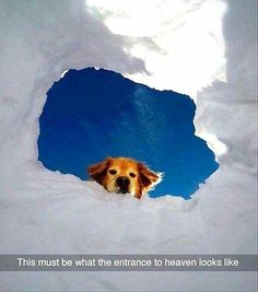 Golden retriever - This must be what the entrance to heaven looks like