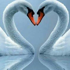 Aphrodite is often depicted riding a swan. The swan in nature is a bird and the bird represents the air or the heavens. The swan also represents female sensuality, love, and lustfulness. Pretty Birds, Love Birds, Beautiful Birds, Animals Beautiful, Beautiful Swan, Animals And Pets, Baby Animals, Funny Animals, Cute Animals