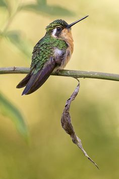 Perched Female White-throated Mountain Gem,  Costa Rica, by Jeff Dyck
