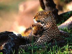 Los #Leopardos especie en vía de extinción