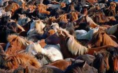 HORSE ROUND UP - ICELAND