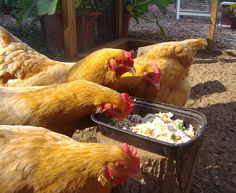 Treats to feed your chickens ... and foods to definitely avoid