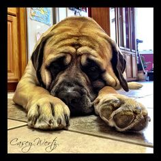 English Mastiff...I honestly want one of these....BAD.  Not in this house though.