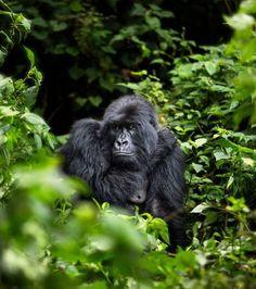 HUMBA, Virunga National Park Photo by Shannon Witz — National Geographic Your Shot Nature Animals, Animals And Pets, Baby Animals, Funny Animals, Cute Animals, National Geographic Photography, Wildlife Photography, Animal Photography, Mountain Gorilla