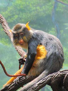 lesula monkey - Google Search