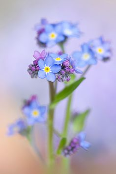Forget-me-not Spring by Jacky Parker