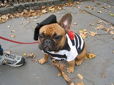 "Happy Halloween from the ""French"" bulldog! Piper's costume this year!! @Lindsey Grande Grande Grande Searle"
