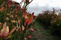 Leucadendrons growing at a native farm in Furner, South Australia South African Flowers, South Australia, Nativity, Blush, Gardening, Bride, Plants, Wedding Bride, Bridal