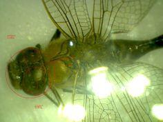 Vamos a hacer una libélula a escala, lo primero es medirla. IES Sierra Almenara Purias, Lorca-Murcia