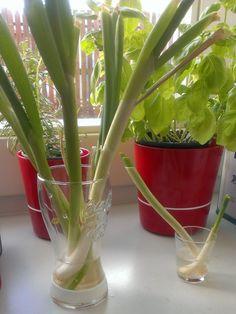Mijn 'herkweekte' lente-uien staan inmiddels al enkele weken in de vensterbank.