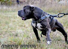 Bandog Massive Dogs, Big Dogs, I Love Dogs, Cute Dogs, Unique Dog Breeds, Rare Dog Breeds, Popular Dog Breeds, American Bandogge Mastiff, Bred Pit