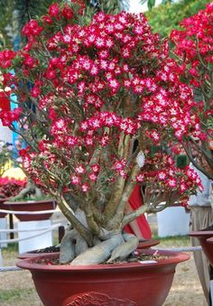 Bonsai Rosa del desierto