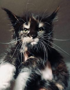 Maine Coon Cats Facts What a cute expression on this kitty! I Love Cats, Crazy Cats, Cool Cats, Pretty Cats, Beautiful Cats, Maine Coon Kittens, Ragdoll Kittens, Tabby Cats, Bengal Cats