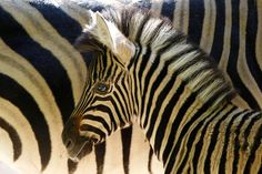 Scientists unravel mystery of zebra stripes - CSMonitor.
